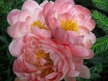 Τρία ανοικτό ροζ peonies Στοκ Φωτογραφία