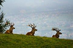 Τρία αρσενικά ελάφια Στοκ Εικόνες