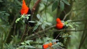 Τρία αρσενικά του των Άνδεων peruvianus Rupicola κόκκορας--ο-βράχου που και που στον κλάδο και που περιμένει τα θηλυκά, Περού απόθεμα βίντεο