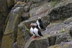Τρία ατλαντικά puffins (arctica Fratercula) που στέκονται σε έναν βράχο Στοκ Εικόνα