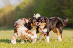 Τρία αυστραλιανά σκυλιά ποιμένων που παλεύουν για ένα παιχνίδι Στοκ Εικόνες