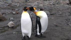 Τρία αυτοκρατορικό Penguins στις Νήσους Φώκλαντ στην Ανταρκτική απόθεμα βίντεο