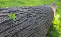 Τρία βγαλμένο φύλλα τριφύλλι σε έναν κορμό δέντρων Στοκ Εικόνες