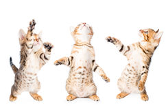 Τρία γατάκια που παίζουν και που ανατρέχουν Στοκ Εικόνες