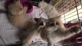 Τρία γατάκια στο παιχνίδι κλουβιών απόθεμα βίντεο