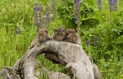Τρία γατάκια Bobcat με Wildflowers Στοκ εικόνα με δικαίωμα ελεύθερης χρήσης
