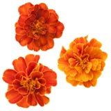Τρία γαλλικά marigolds Στοκ Φωτογραφία