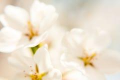 Τρία λευκό, άνθη Defocused Apple Στοκ Εικόνα