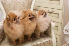 Τρία θαυμάσια σκυλιά της φυλής Spiez στοκ φωτογραφίες με δικαίωμα ελεύθερης χρήσης
