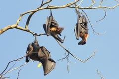 Τρία ινδικά πετώντας ρόπαλα αλεπούδων, Pteropus, ένωση giganteus στο στηθόδεσμο Στοκ Εικόνες