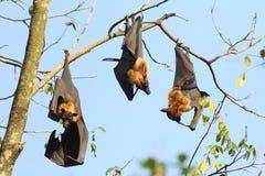 Τρία ινδικά πετώντας ρόπαλα αλεπούδων, Pteropus, giganteus κλείνουν το τηλέφωνο στο tre Στοκ Εικόνα