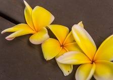 Τρία κίτρινα άνθη Frangipani στοκ φωτογραφία