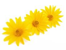 Τρία κίτρινα λουλούδια στο λευκό Στοκ Εικόνες