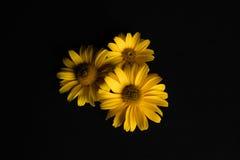 Τρία κίτρινα λουλούδια σε ένα μαύρο υπόβαθρο Στοκ Εικόνες