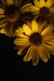 Τρία κίτρινα λουλούδια σε ένα μαύρο υπόβαθρο Στοκ φωτογραφίες με δικαίωμα ελεύθερης χρήσης