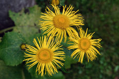 Τρία κίτρινα blosoms Στοκ Φωτογραφία