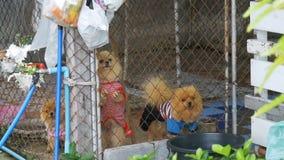 Τρία καθαρής φυλής μικρά σκυλιά αποφλοιώνουν viciously πίσω από το φράκτη του πλέγματος σε ένα κλουβί στην οδό κίνηση αργή φιλμ μικρού μήκους