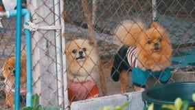 Τρία καθαρής φυλής μικρά σκυλιά αποφλοιώνουν viciously πίσω από το φράκτη του πλέγματος σε ένα κλουβί στην οδό κίνηση αργή απόθεμα βίντεο