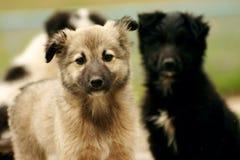 Τρία κουτάβια σκυλιών που παίζουν σε μια χλόη στοκ φωτογραφία με δικαίωμα ελεύθερης χρήσης
