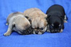 Τρία κουτάβια chihuahua που βρίσκονται στο μπλε ύφασμα στοκ εικόνες με δικαίωμα ελεύθερης χρήσης