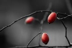 Τρία κόκκινα άγρια τριαντάφυλλα στον κλαδίσκο Στοκ Εικόνα