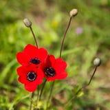 Τρία κόκκινα λουλούδια Anemone Στοκ Φωτογραφίες
