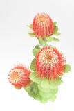 Τρία κόκκινα λουλούδια grevillea Στοκ Εικόνες