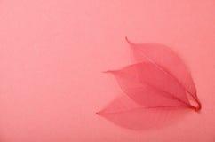 Τρία κόκκινα φύλλα σκελετών σε ρόδινο χαρτί Στοκ Φωτογραφίες