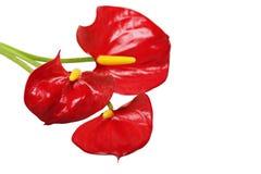 Τρία κόκκινα anthurium λουλούδια που απομονώνονται Στοκ φωτογραφία με δικαίωμα ελεύθερης χρήσης