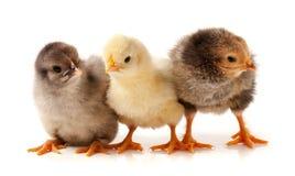 Τρία λίγο κοτόπουλο στο άσπρο υπόβαθρο Στοκ φωτογραφία με δικαίωμα ελεύθερης χρήσης