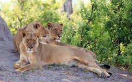 Τρία λιοντάρια που στηρίζονται δίπλα σε ένα ανάχωμα τερμιτών με το πολύβλαστο φύλλωμα στοκ εικόνα με δικαίωμα ελεύθερης χρήσης