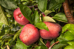 Τρία μήλα σε ένα δέντρο μετά από μια θύελλα βροχής Στοκ Εικόνες