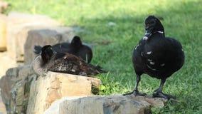 Τρία μαύρα πουλιά  δύο που κάθονται και ένα που στέκεται απόθεμα βίντεο