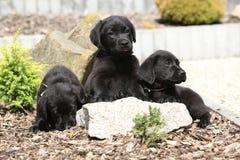 Τρία μαύρα retriever του Λαμπραντόρ κουτάβια στοκ φωτογραφίες με δικαίωμα ελεύθερης χρήσης