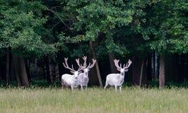 Τρία μεγαλοπρεπή άσπρα deers στην επιφύλαξη παιχνιδιού, δάσος στο backgroung στοκ εικόνα με δικαίωμα ελεύθερης χρήσης