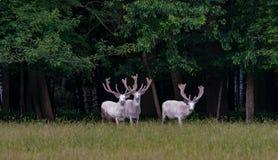 Τρία μεγαλοπρεπή άσπρα deers στην επιφύλαξη παιχνιδιού, δάσος στο backgroung στοκ εικόνες με δικαίωμα ελεύθερης χρήσης