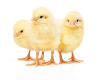 Τρία μικρά κίτρινα κοτόπουλα που απομονώνονται στο άσπρο υπόβαθρο στοκ εικόνα