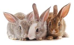 Τρία μικρά κουνέλια στοκ φωτογραφίες με δικαίωμα ελεύθερης χρήσης