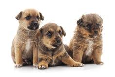 Τρία μικρά κουτάβια στοκ φωτογραφία με δικαίωμα ελεύθερης χρήσης