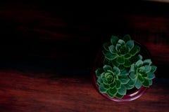 Τρία μικροσκοπικά succulents Στοκ εικόνες με δικαίωμα ελεύθερης χρήσης