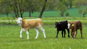 Τρία μικρός μόσχος, περίπατος αγελάδων στο λιβάδι άνοιξη, Τσεχία απόθεμα βίντεο