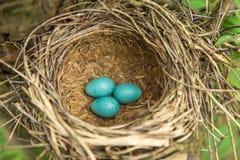 Τρία μπλε αυγά στην κινηματογράφηση σε πρώτο πλάνο φωλιών Στοκ φωτογραφίες με δικαίωμα ελεύθερης χρήσης