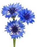 Τρία μπλε λουλούδια ενός cornflower, που απομονώνονται σε ένα άσπρο υπόβαθρο Εκλεκτική εστίαση στοκ φωτογραφίες