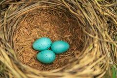Τρία μπλε αυγά της τσίχλας στην κινηματογράφηση σε πρώτο πλάνο φωλιών αχύρου Στοκ Εικόνες