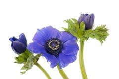 Τρία μπλε Anemones σε ένα άσπρο υπόβαθρο Στοκ φωτογραφίες με δικαίωμα ελεύθερης χρήσης