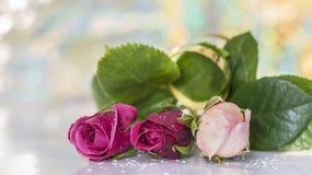 Τρία νέα τριαντάφυλλα Στοκ φωτογραφία με δικαίωμα ελεύθερης χρήσης