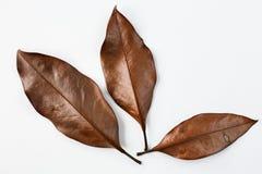 Τρία ξεραίνουν τα φύλλα σε ένα άσπρο υπόβαθρο Στοκ Εικόνες