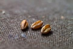 Τρία ξηρά σιτάρια σίτου κλείνουν επάνω στον καφετή καμβά Στοκ φωτογραφίες με δικαίωμα ελεύθερης χρήσης