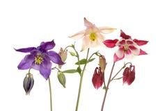 Τρία λουλούδια aquilegia Στοκ εικόνα με δικαίωμα ελεύθερης χρήσης