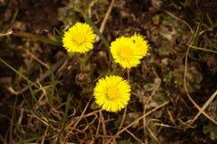 Τρία λουλούδια foalfoot στενό σε έναν επάνω λιβαδιών Στοκ Φωτογραφίες